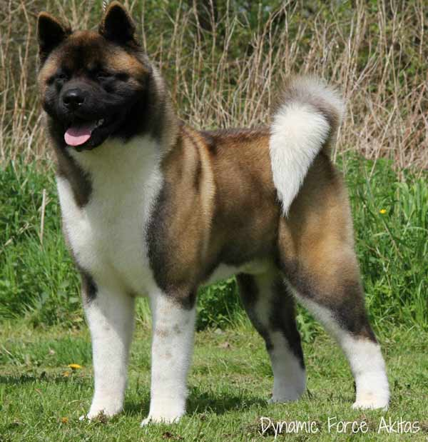 BIS, BISS UK/LUX/AKC GCH, INT/NET/LUX/UKG/USA/DEN/FIN CH Dynamic Force Sharp Dressed Man With Ruthdales