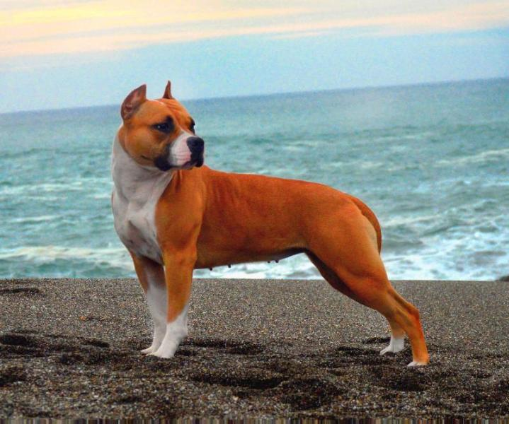 AKC GCH Ironstone's Wicked Games