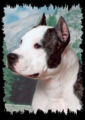 AKC CH, UKC GRCH Hilltop's Number One Stunner